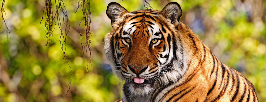 The Wild Tiger population increased for the first time in a century!